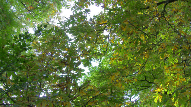 View of horse chestnut tree in autumn from below video