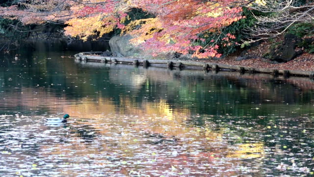 View of Red Maple tree in Autumn color video