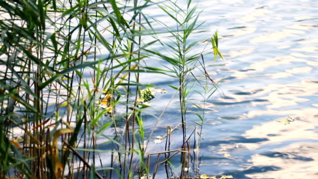 view of reed along the water's edge video