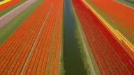 AERIAL: View of stunning rich colorful tulips at touristic place in Netherlands video