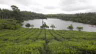 View of tea bushes with a lake in the background video
