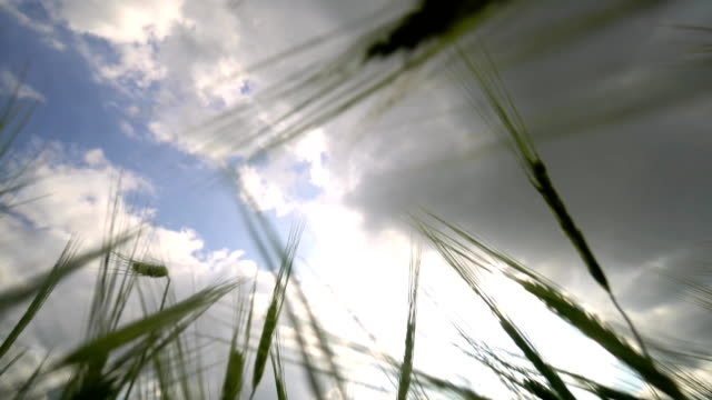 A view of the cloudy sky through the wheat field. video