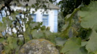 View of the house through the vineyard. video