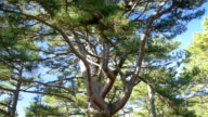view of the large pine tree video