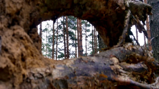 View through tree stump, 4k video