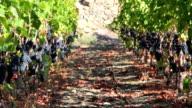 DOLLY HD: Vigneto con uva rossa. video