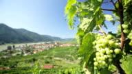 vine grapes in wind video