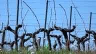 Vine Leaf in spring-Vineyard south west of France, Bordeaux Vine video