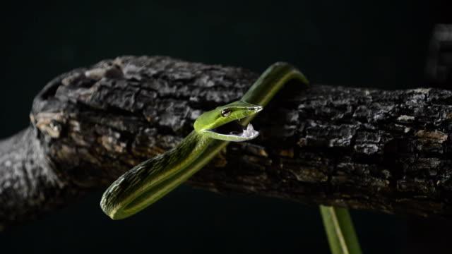 vine snake video
