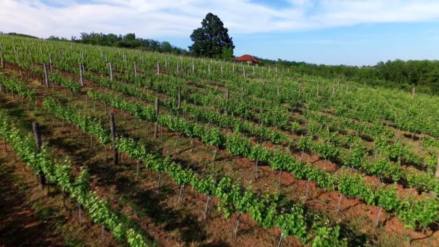 Vineyard aerial view video