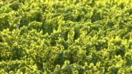 vineyard at sunlight video