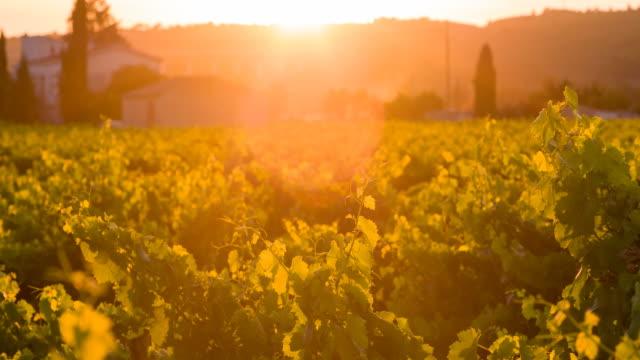 Vineyard at sunset video