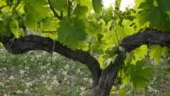Vineyard Fields at Sunset Vine Closeup video