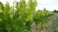 Vineyard Fields at Sunset Vine Lane Closeup video