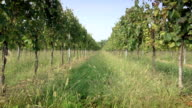 Vineyard for Italian wine production in Franciacorta, Italy video