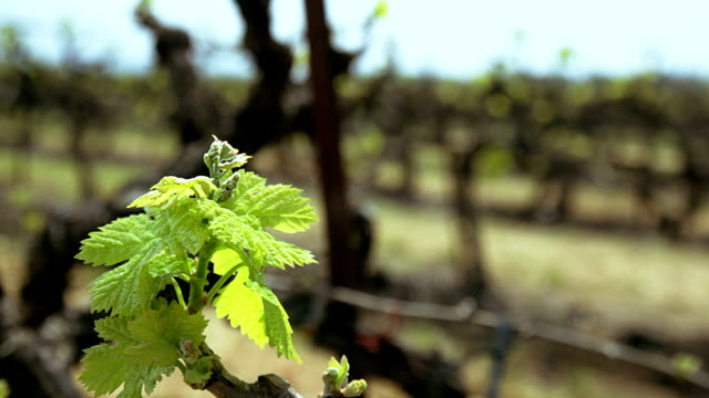 Vineyard. Grape leaf close up video