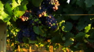 Vineyard Grapes Zoom Out HD video