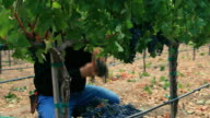 Vineyard Harvest video