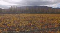 Vineyard in autumn , aerial video video