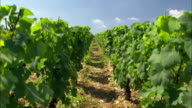 Vineyard in France rows of grapes on vines video