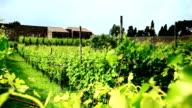 Vineyard in Pompeii ruins video
