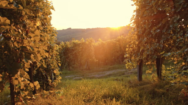Vineyard in the late afternoon sun video