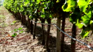 Vineyard irrigation video