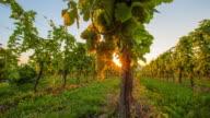 T/L 9K Vineyard of white grape at sunset video