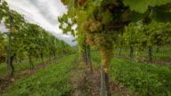 T/L 9K Vineyard of white grape in the wind video