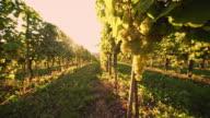 DS Vineyard of white grape video