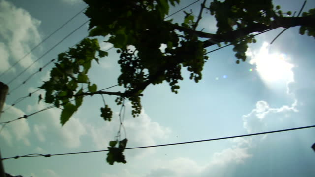 HD Vineyard summer video