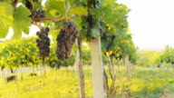 HD DOLLY: Vineyard Trellis With Muscat Grapes video