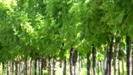 HD: vineyard video