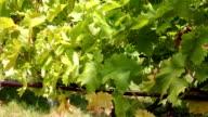 Vineyard (HD) video