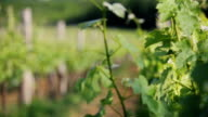 Vineyard video
