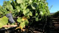 Vineyards, Chile video