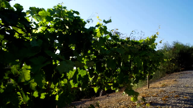 Vineyards in a windy day video