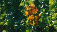 Vineyards in sunny day video