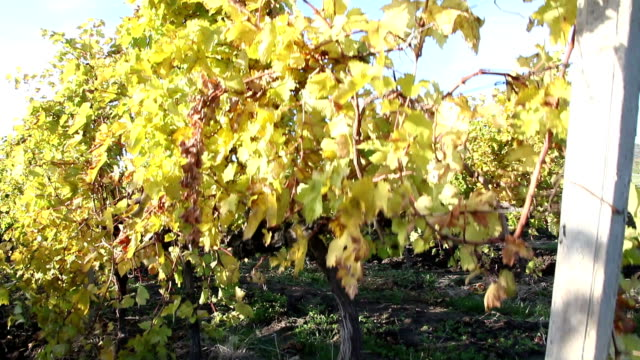 vineyards in the autumn video