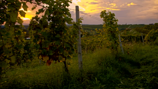 WS Vineyards In The Sunset video
