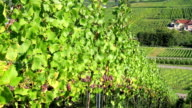 Vineyards of the Moselle Valley. video