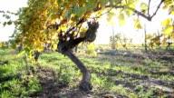 vineyards video