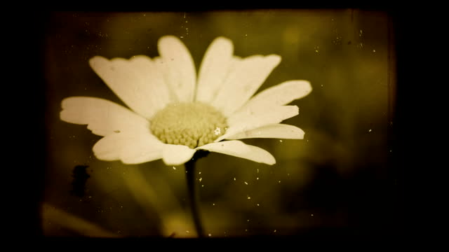 Vintage chamomile background video