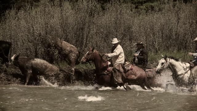 Vintage Cowboys on horseback herd cattle across river video