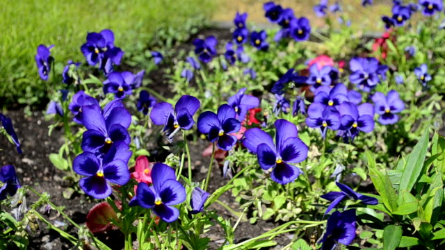viola pansy flower bloom video