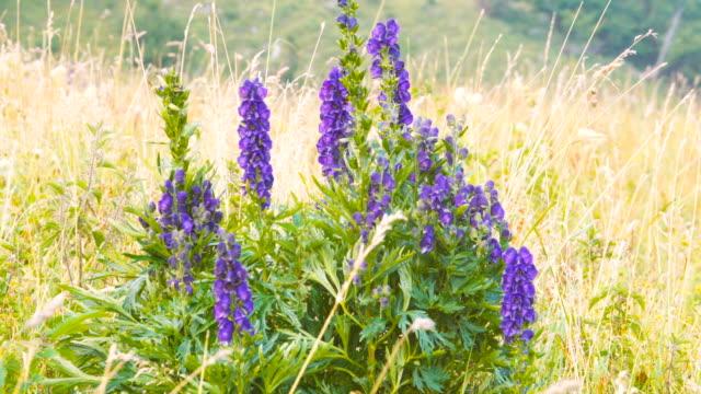 Violet flower field in a mountain landscape video