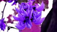 Violet flower of Bastard Teak video