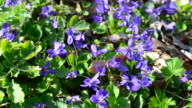 Violet flowers with bees and other insects on spring meadow video