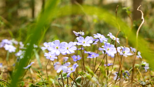 Violet flowwers in the forest video