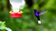 Violet Sabrewing (Campylopterus hemileucurus) in Costa Rica video